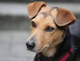 La parvovirose chez le chien : symptômes et traitement