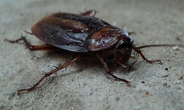 Les blattes sont des cafards qui necessitent un traitement spécial pour l'extermination complète.